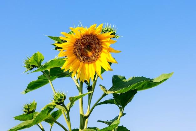 Sonnenblume auf einem blauen himmel bei sonnigem wetter