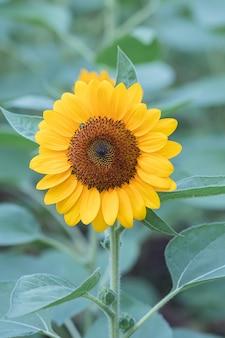 Sonnenblume auf einem feld