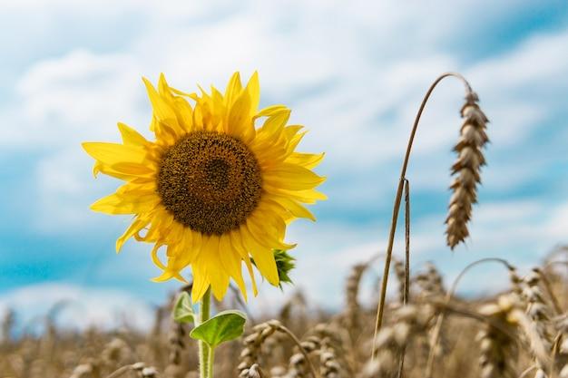 Sonnenblume auf einem weizengebiet.