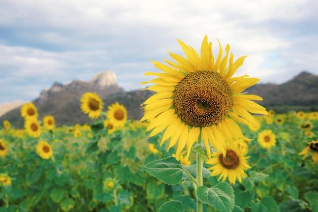 Sonnenblume auf feld am sommer.