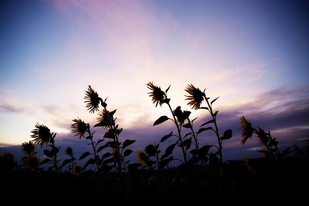 Sonnenblume auf feld am sonnenuntergang.