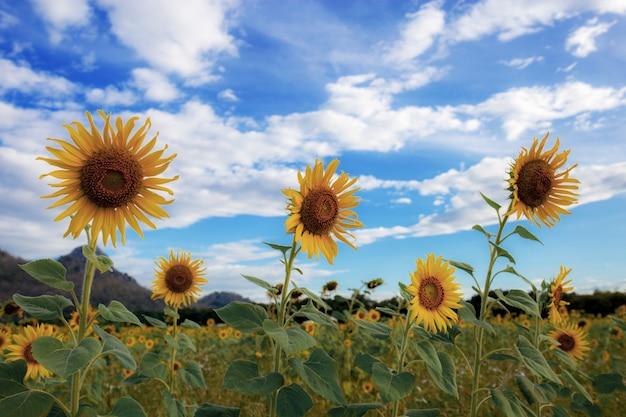 Sonnenblume auf feld mit blauem himmel.