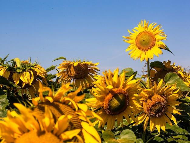 Sonnenblume auf sommerhintergrund. selektiver fokus. sonnenblumenfeldhintergrund. nahaufnahme der sonnenblumenstruktur