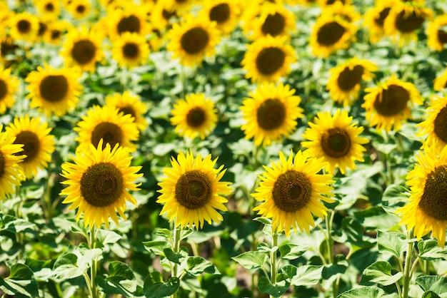 Sonnenblume, die in einem feld blüht
