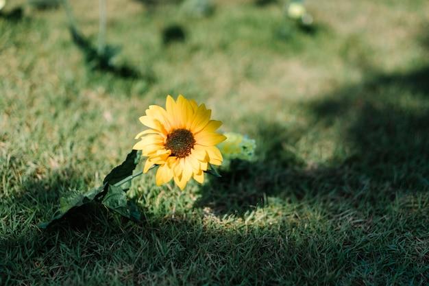 Sonnenblume einsam im garten