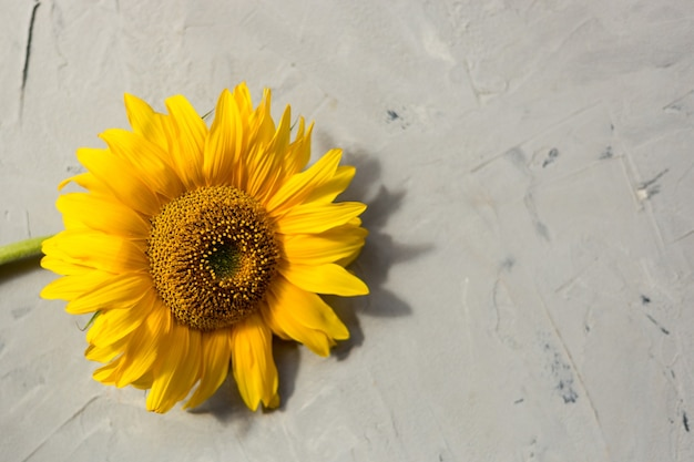 Sonnenblume. flache lage, draufsicht. herbst- oder sommerkonzept, erntezeit, landwirtschaft.