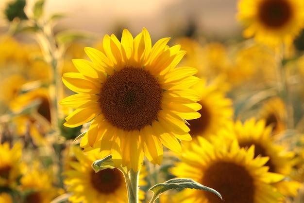 Sonnenblume - helianthus annuus auf dem feld in der dämmerung