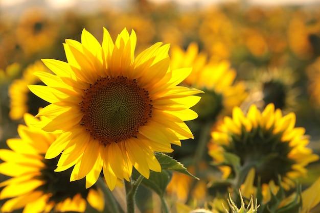 Sonnenblume helianthus annuus auf dem feld in der dämmerung