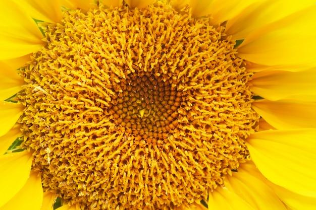 Sonnenblume-hintergrund für ihre auslegung und notwendigkeiten