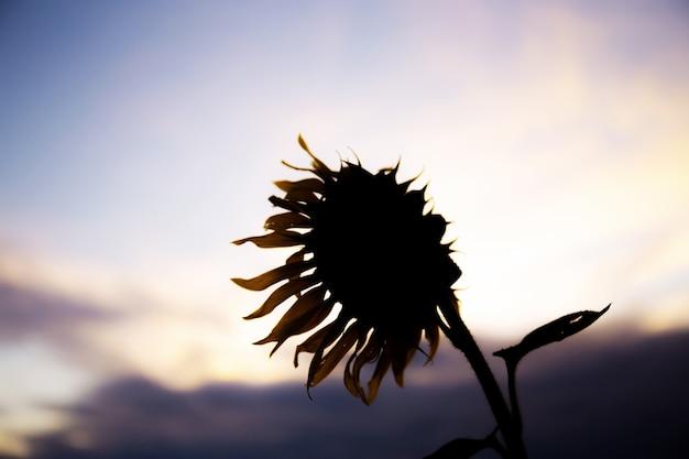 Sonnenblume im feld bei sonnenuntergang.