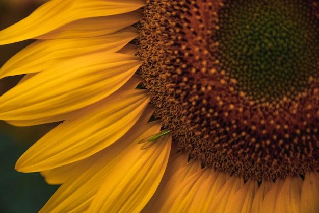 Sonnenblume im feld mit käferfütterung