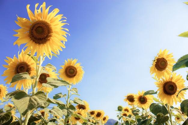 Sonnenblume im feld mit sonnenlicht.