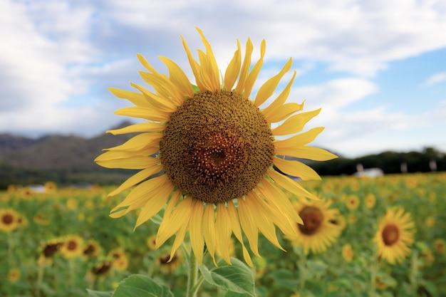 Sonnenblume im feld.