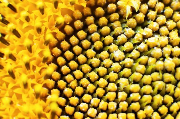 Sonnenblume im makrohintergrund des sonnenblumenabschlusses oben