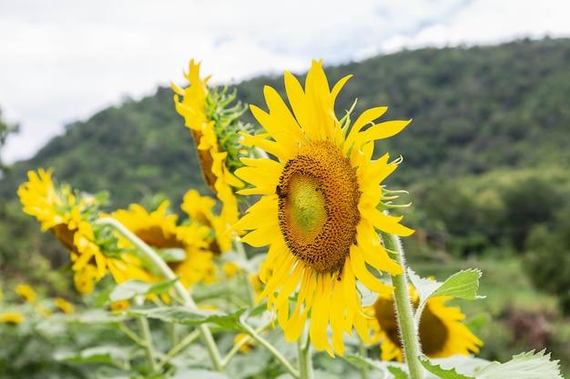 Sonnenblume im sonnenblumenfeld