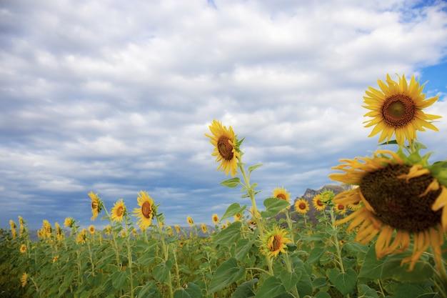 Sonnenblume in der natur am himmel.