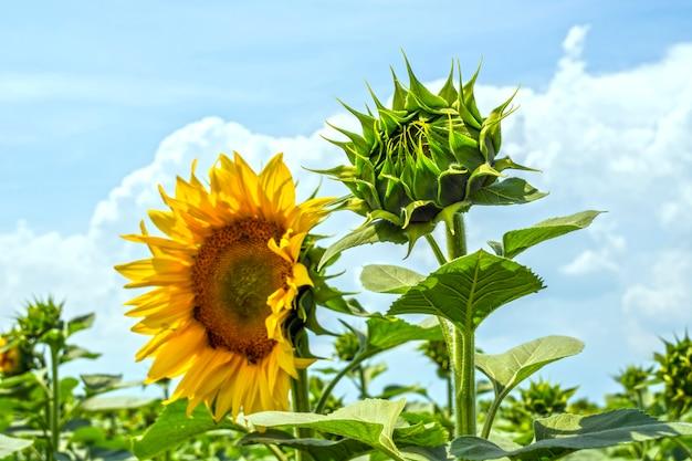 Sonnenblume in der phase der bildung der kappe auf dem feld an einem sonnigen tag
