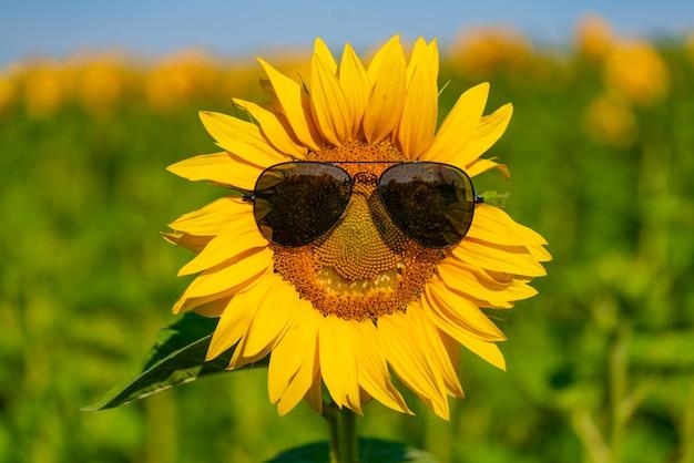 Sonnenblume in der sonnenbrille blüht auf dem gebiet im sommer. nahansicht