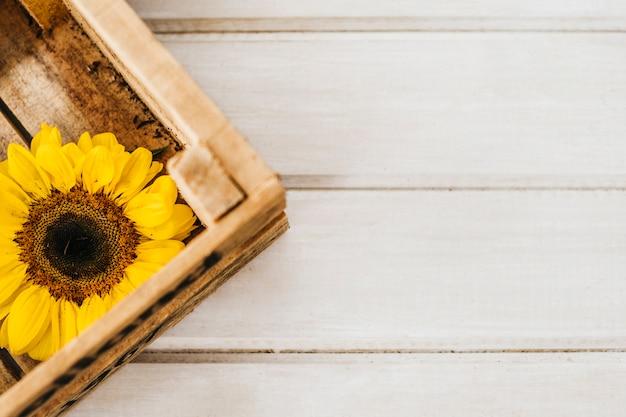Sonnenblume in holzkiste mit platz
