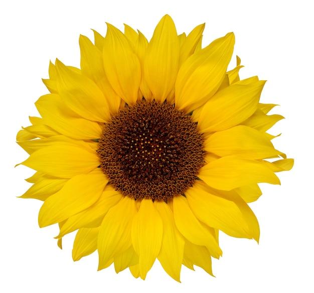 Sonnenblume isoliert auf einer weißen oberfläche