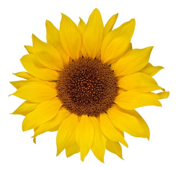 Sonnenblume lokalisiert auf einem weißen hintergrund. eine gelbe blume. Premium Fotos