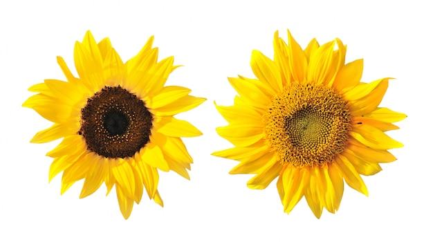 Sonnenblume lokalisiert auf weißem raum