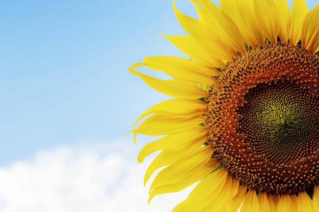 Sonnenblume mit beschaffenheit von samen.
