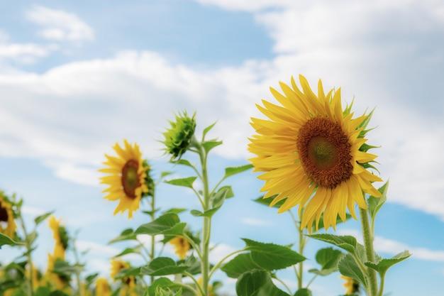 Sonnenblume mit blauem himmel im winter