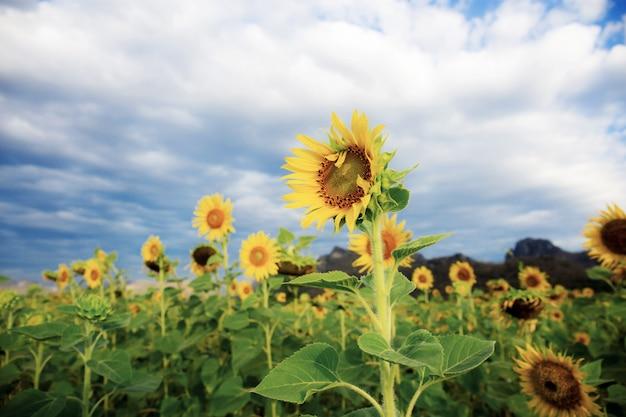 Sonnenblume mit dem himmel.
