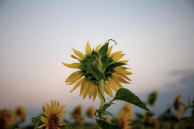 Sonnenblume mit dem sonnenuntergang.