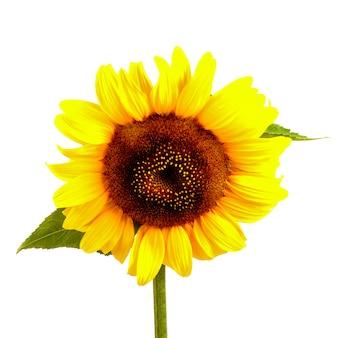Sonnenblume mit grünen blättern lokalisiert auf weiß