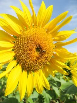 Sonnenblume mit hellem gelbgold mit kleinen honigbienen