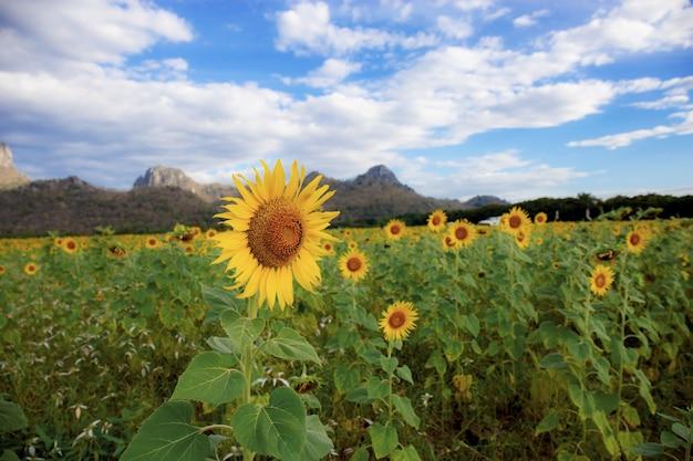 Sonnenblume mit hintergrund des blauen himmels.