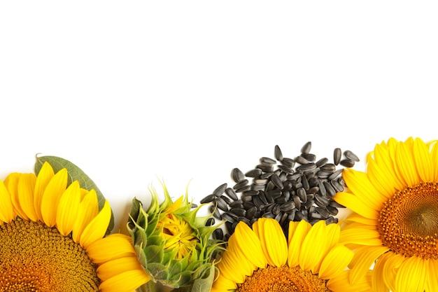 Sonnenblume mit samen isoliert auf weißem hintergrund