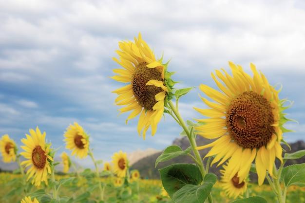 Sonnenblume mit schönem am himmel.