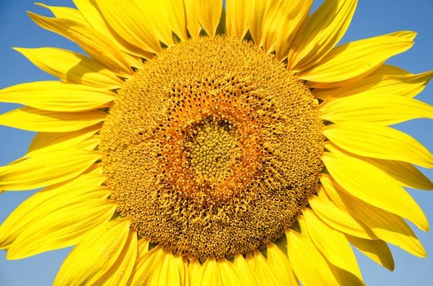 Sonnenblume natürlich