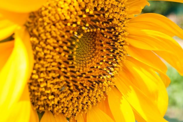Sonnenblume natürlichen hintergrund.