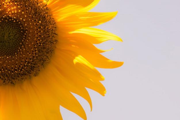 Sonnenblume. sonnenblume natürlich.