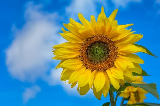 Sonnenblume über blauem bewölktem himmel, kopienraum