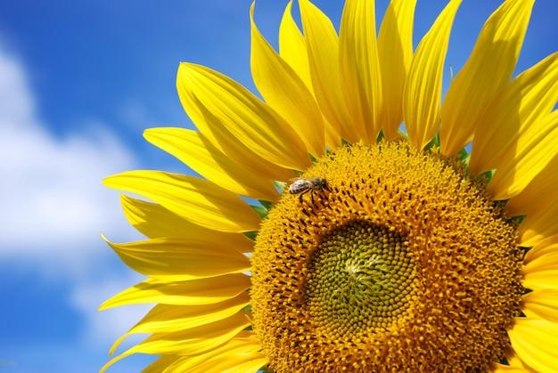 Sonnenblume und himmel