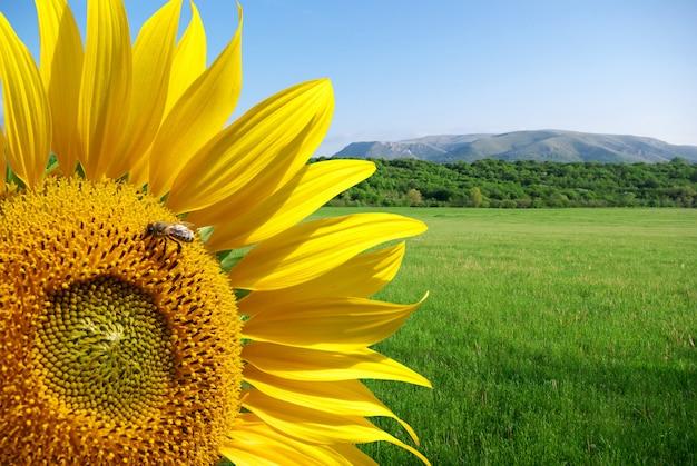 Sonnenblume und schöne wiese