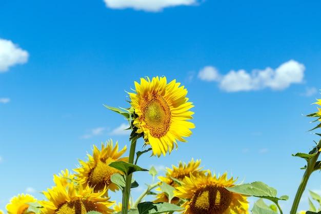 Sonnenblumen auf dem blauen himmel hintergrund landwirtschaft landwirtschaft ländliche wirtschaft agronomie-konzept