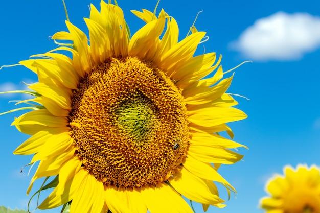 Sonnenblumen auf dem blauen himmelhintergrund