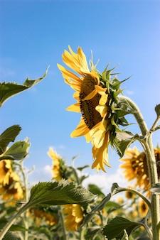Sonnenblumen auf dem feld in der hellen sonne