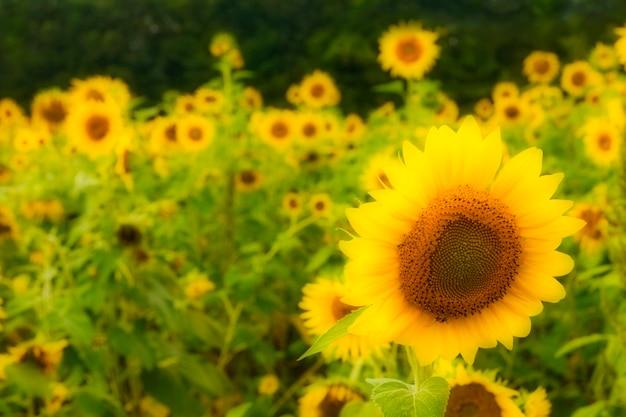 Sonnenblumen auf dem gebiet, unschärfe