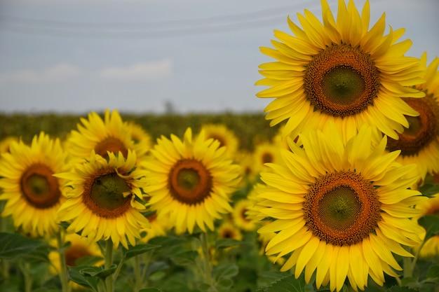 Sonnenblumen auf den gebieten während des sonnenuntergangs in thailand