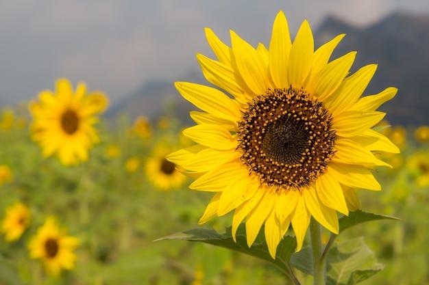 Sonnenblumen auf sonnenblumen fangen gebrauch für hintergrund auf