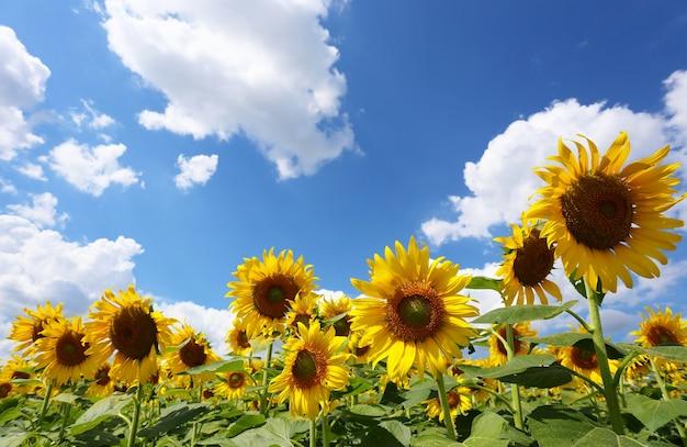 Sonnenblumen blühen auf blau