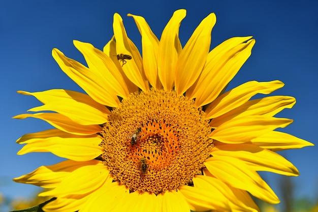 Sonnenblumen blühen im bauernhof - feld mit blauem himmel und wolken. schöne natürliche farbigen hintergrund. blume in der natur.