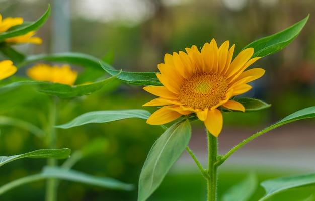 Sonnenblumen blühen im garten